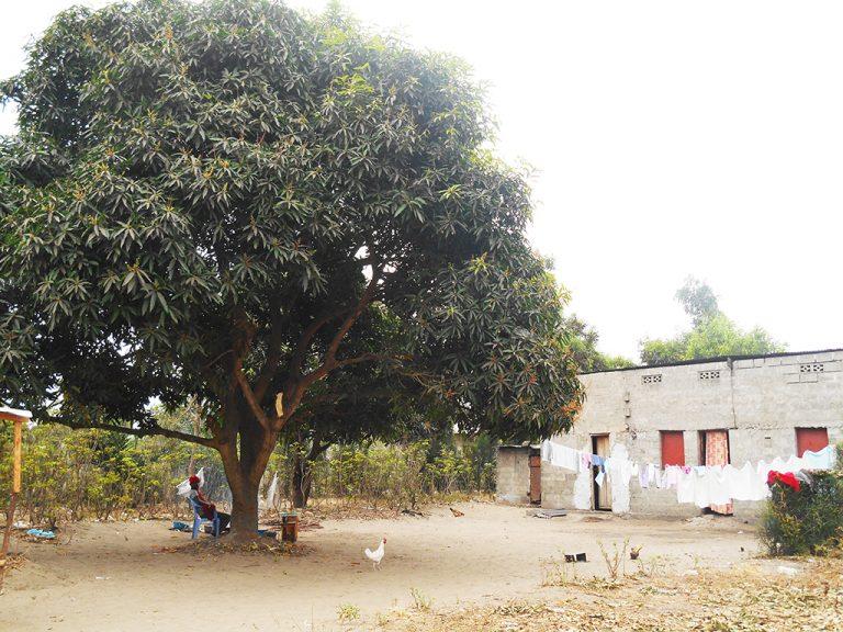 Albero in Congo