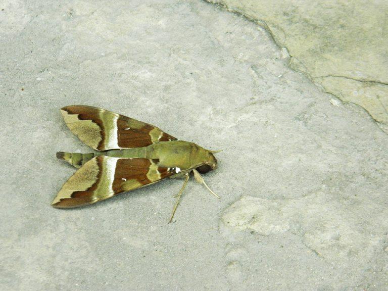 Farfalla Congo