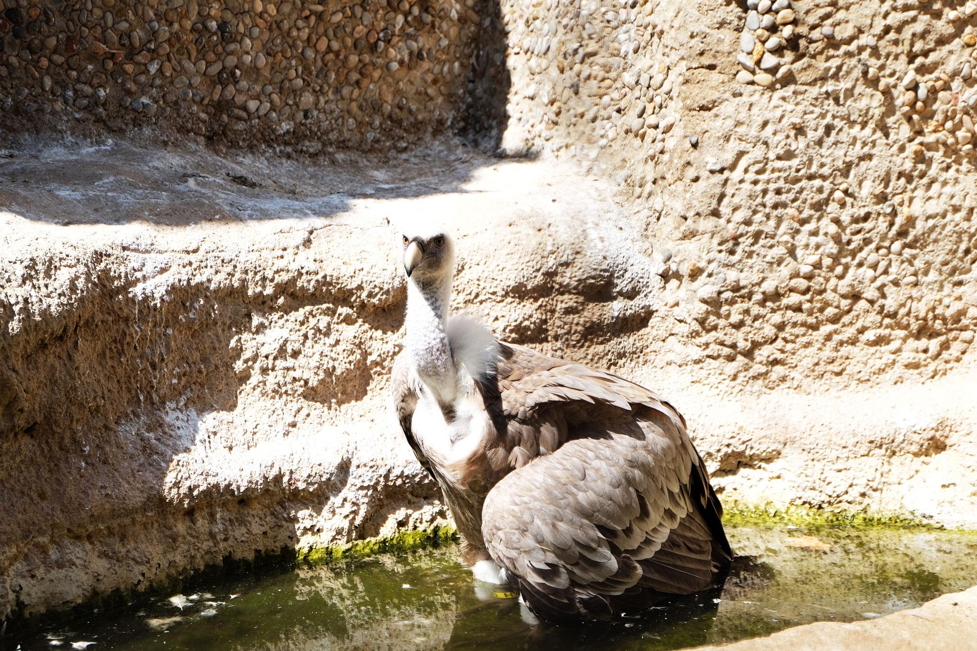 zoo-barcellona-avvoltoio