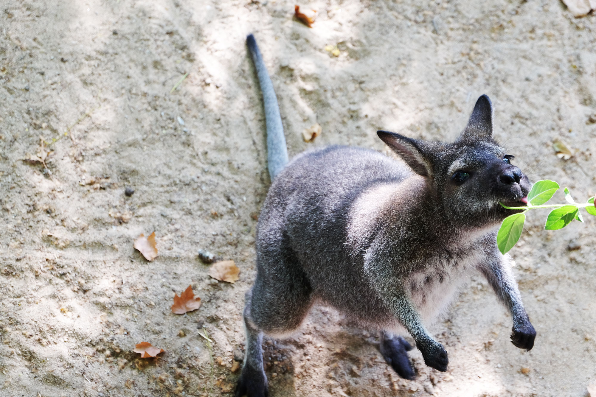 zoo-barcellona-canguro