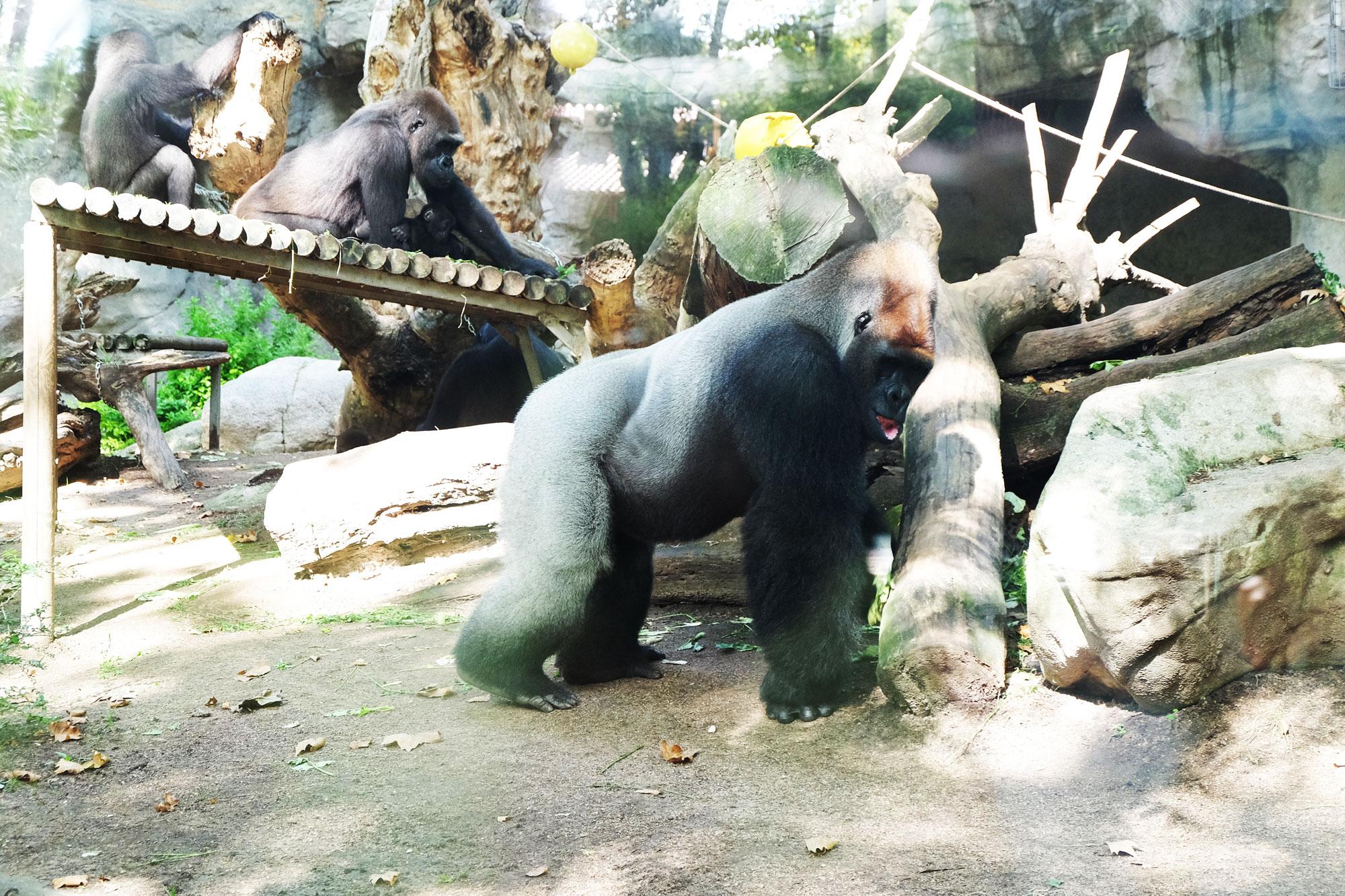 zoo-barcellona-gorilla