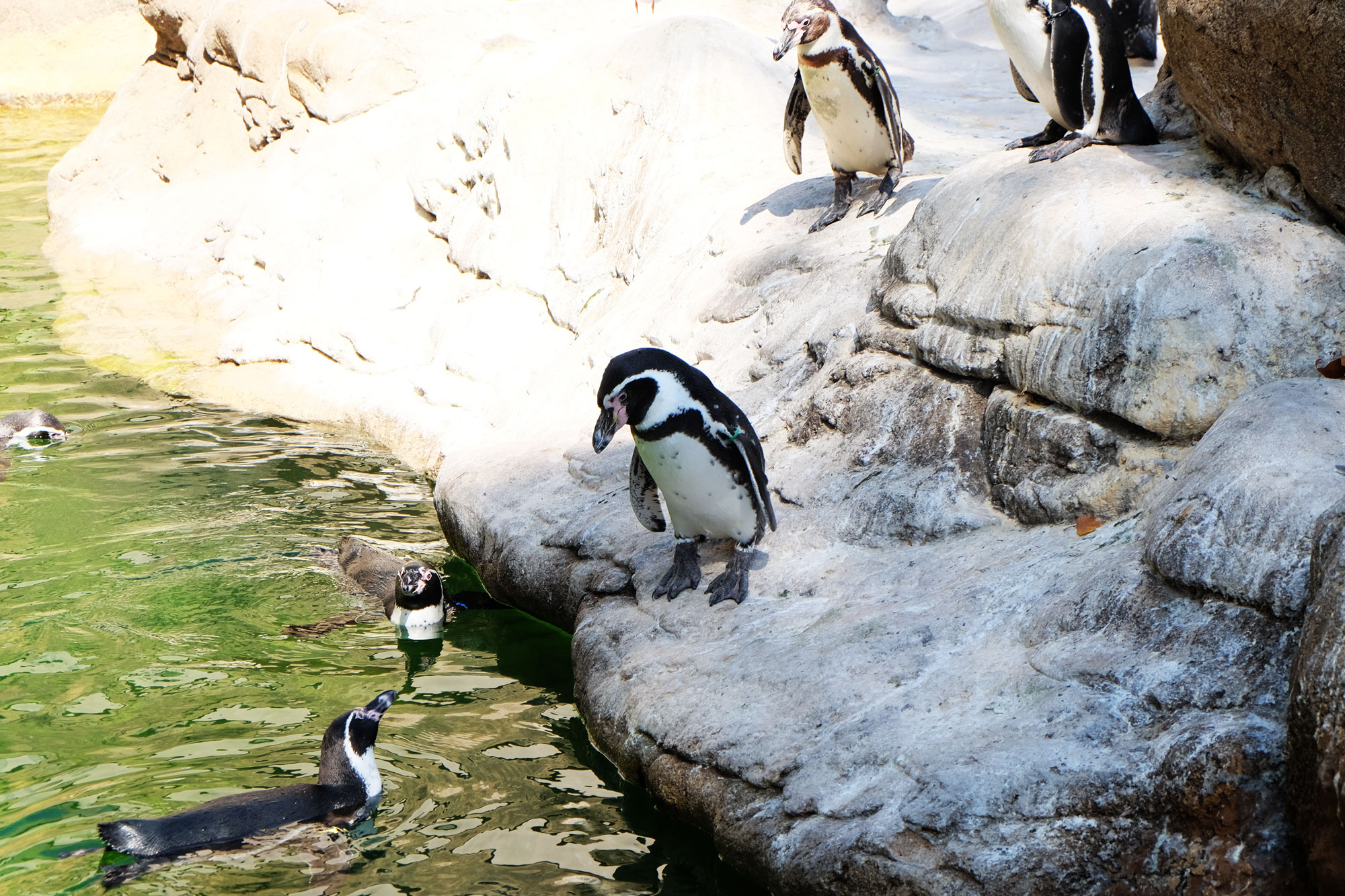 zoo-barcellona-pinguini