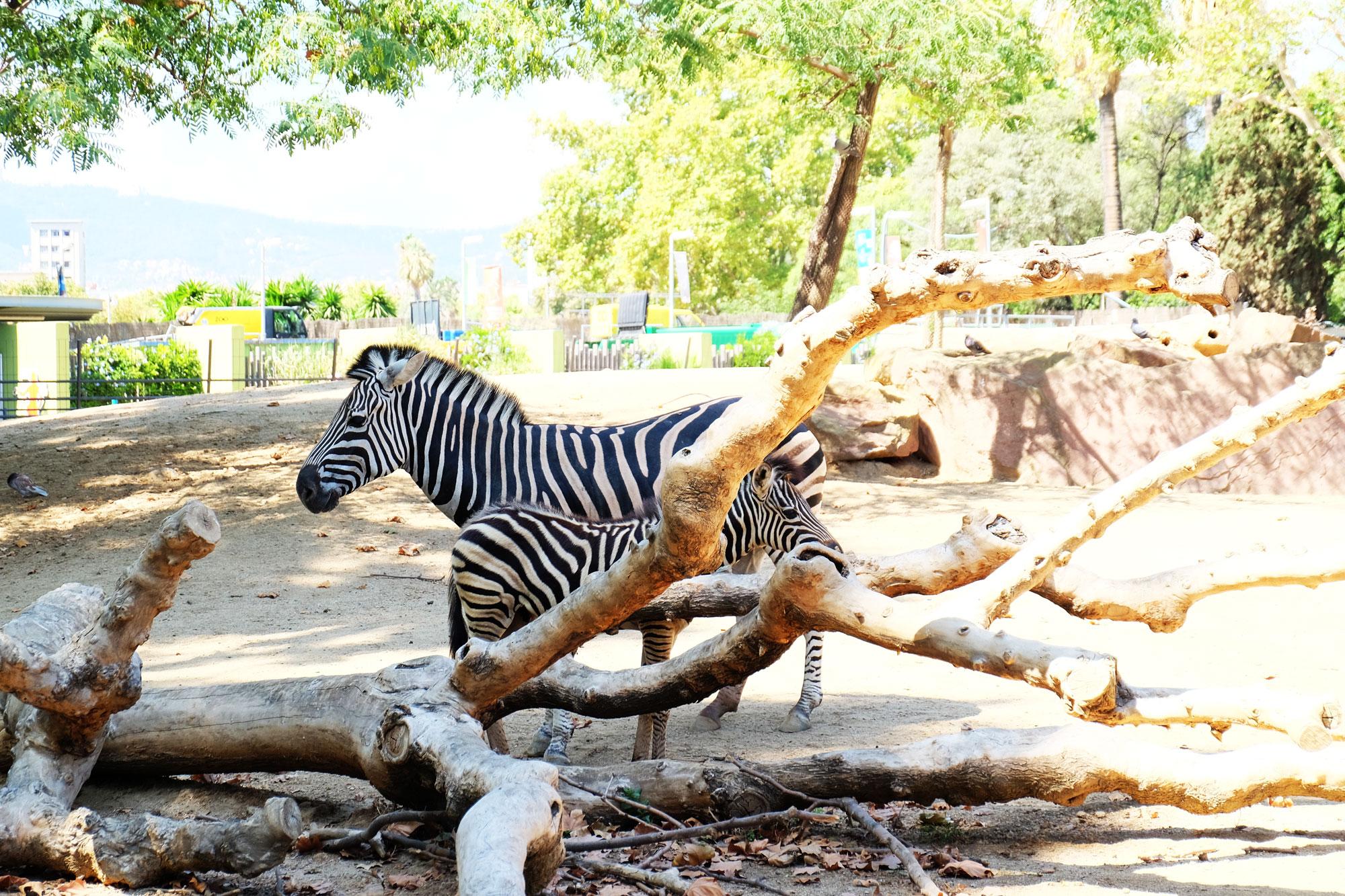 zoo-barcellona-zebre